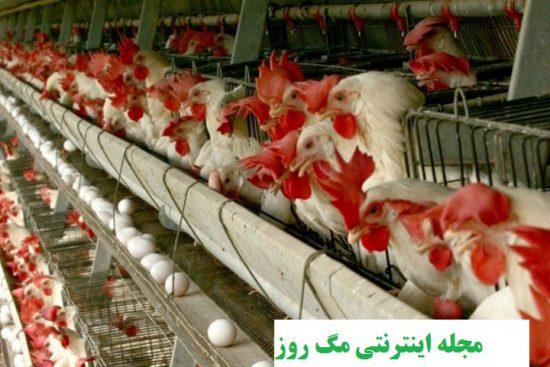 موارد مورد نیاز جهت پرورش مرغ تخم گذار