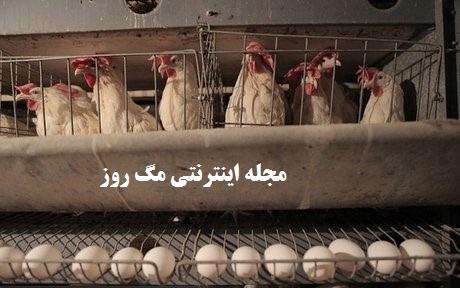 مکان مناسب برای نگهداری و پرورش مرغ تخم گذار