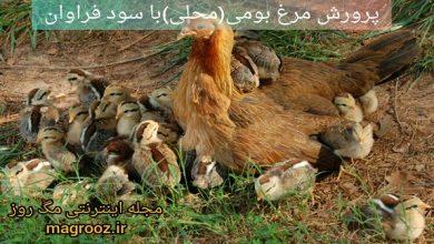 تصویر از پرورش مرغ بومی (محلی) با سرمایه کم و سود فراوان