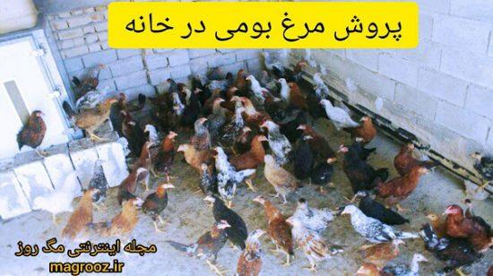 آیا امکان پرورش مرغ بومی در خانه نیز وجود دارد؟