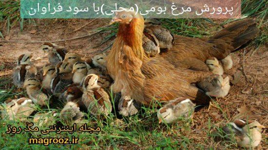 پرورش مرغ بومی (محلی) با سود فراوان و سرمایه کم