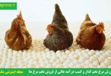 تصویر از پرورش مرغ تخم گذار و کسب درآمد عالی از فروش تخم مرغ ها و جوجه ها