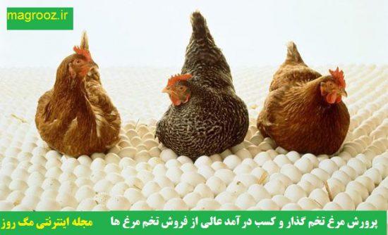 پرورش مرغ تخم گذار و کسب درآمد عالی از فروش تخم مرغ ها و جوجه ها