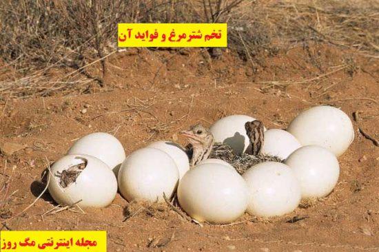 تخم شترمرغ در پرورش شترمرغ